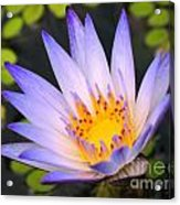 Bright Blue Water Lily Acrylic Print