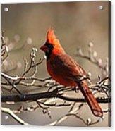 Bright Bold - Cardinal Acrylic Print