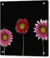 Bright Colorful Daisies Acrylic Print by Deddeda