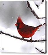 Bright In The Snow - Cardinal Acrylic Print