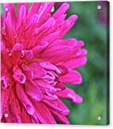 Bright Pink Dahlia Acrylic Print