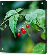 Bright Red Berries Acrylic Print