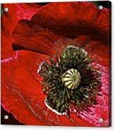 Bright Red Poppy Acrylic Print