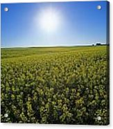 Bright Sun And Bloom Stage Mustard Acrylic Print