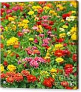 Brightly Colored Marigold Flowers Acrylic Print