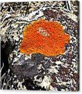 Brilliant Orange Lichen Acrylic Print