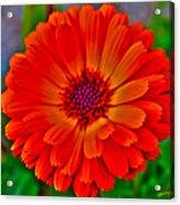 Brilliant Orange No. 2 Acrylic Print