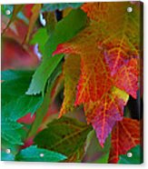 Brilliant Red Maple Leaves Acrylic Print