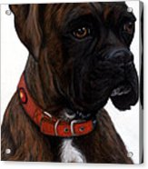 Brindle Boxer Acrylic Print by Michelle Harrington
