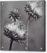 Bristle Thistle In Black And White Acrylic Print