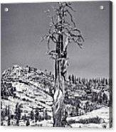 Bristlecone Pine - High Sierra Acrylic Print