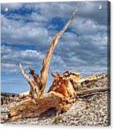 Bristlecone Pine In Repose Acrylic Print
