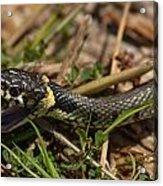 British Grass Snake Acrylic Print