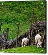 British Lamb Acrylic Print