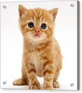 British Shorthair Red Tabby Kitten Acrylic Print