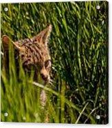 British Wild Cat Acrylic Print