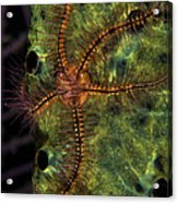 Brittle Star On Sponge, Belize Acrylic Print