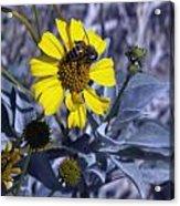 Brittlebush Bee Acrylic Print