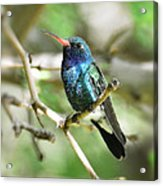 Broad-billed Hummingbird  Acrylic Print
