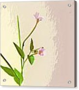 Broad Leaf Willow Herb Acrylic Print