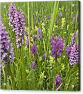 Broad-leaved Marsh Orchid Dactylorhiza Acrylic Print