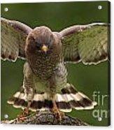 Broad Winged Hawk Acrylic Print