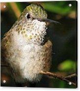 Broadbill Hummingbird Acrylic Print