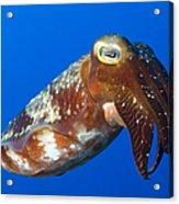 Broadclub Cuttlefish, Papua New Guinea Acrylic Print