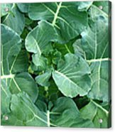 Broccoli Floret Forming Acrylic Print