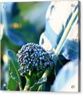 Broccoli Sprout Acrylic Print