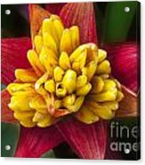 Bromiliad Blossom Acrylic Print
