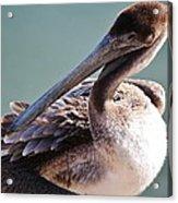 Browm Pelican Up Close Acrylic Print