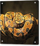 Brown And Black Snake Acrylic Print