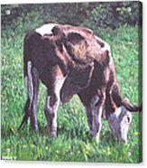 Brown And White Cow Eating Grass Acrylic Print