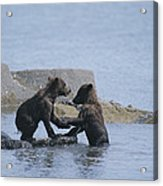 Brown Bear Cubs Playing On A Rocky Acrylic Print