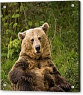 Brown Bear Ursus Arctos, Asturias, Spain Acrylic Print