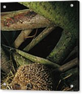 Brown-breasted Hedgehog Erinaceus Acrylic Print