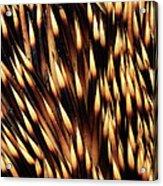 Brown-breasted Hedgehog Erinaceus Acrylic Print