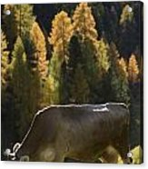 Brown Cow In Valle Lunga Acrylic Print