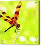 Brown Dragon Acrylic Print