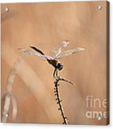 Brown Dragonfly And Brown Reeds Acrylic Print