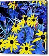 Brown Eyed Susan Acrylic Print