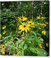 Brown-eyed Susan In The Woods Acrylic Print by Gary Eason