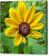 Brown Eyed Suzy Acrylic Print