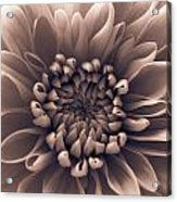 Brown Flower Acrylic Print