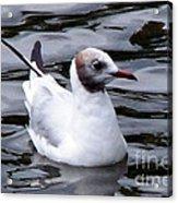 Brown-headed Gull Acrylic Print