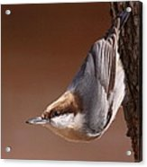 Brown-headed Nuthatch - Little Nutty Acrylic Print