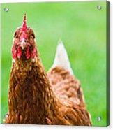Brown Hen On A Lawn Acrylic Print