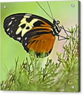 Brown Is Beautiful Acrylic Print