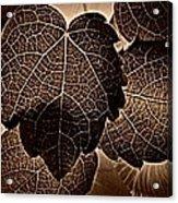 Brown Ivy Acrylic Print